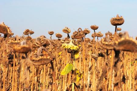 mundo contaminado: Girasoles secos y enfermos después de un largo período de sequía Foto de archivo