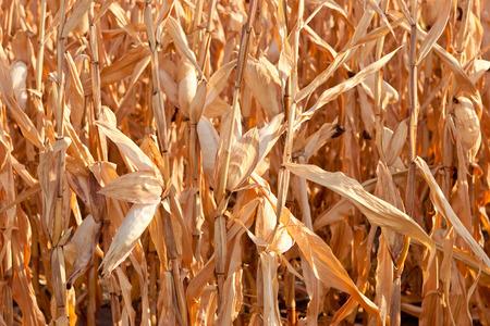 mundo contaminado: Campo de maíz seco después de un largo período de sequía Foto de archivo