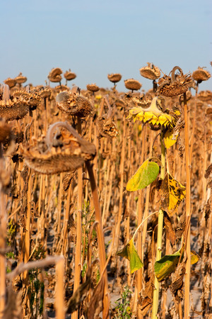 Dry and ill sunflowers after a long drought period photo