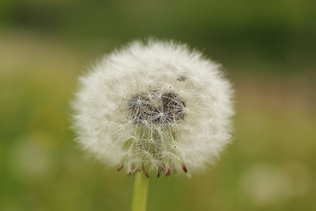 Close up of a dandelion full of seeds Stock fotó