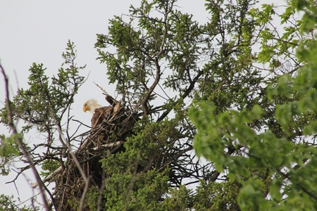 Eagle looking over the edge of it s nest photo