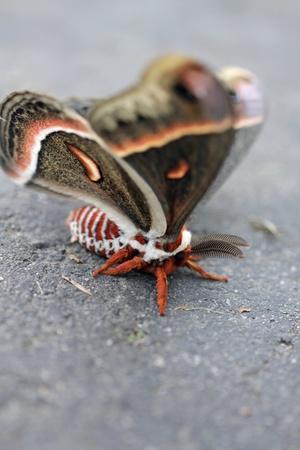 Close-up of a Cecropia Moth Stock fotó