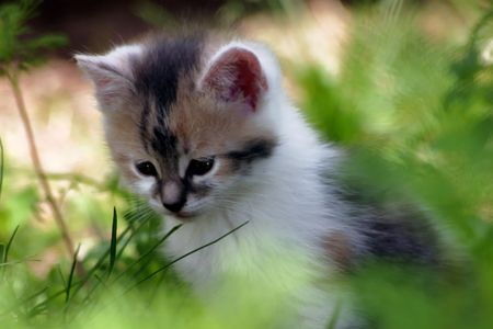 Cute calico kitten in a dreamy thoughtful mood
