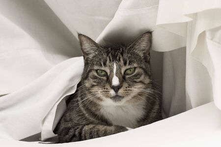 Tabby cat draped in a white sheet