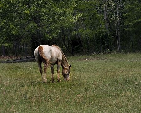 Appaloosa mare grazing in a pasture