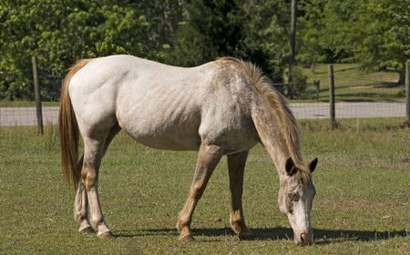 Appaloosa mare grazing in pasture