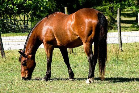 Bay Quarter Horse with left hip brand grazing in pasture