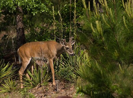 white tail deer: Young White Tail deer slipping through the woods Stock Photo