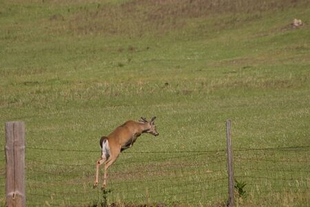 Young whitetail buck leaping over pasture fence