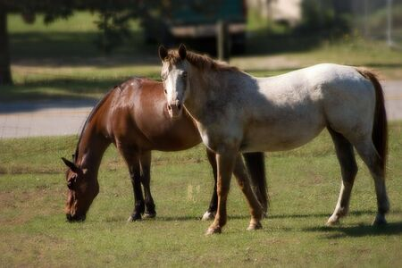 Bay Quarter Horse gelding and roan Appaloosa mare grazing in pasture with a soft focus