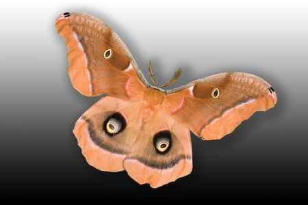 Polyphemus Moth (antheraea polyphemus) isolated on gradient background showing full wing spand of 3 12 to 4 inches. Фото со стока