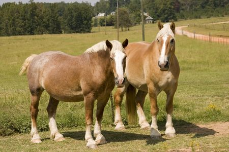 Percheron draft horses standing in pasture