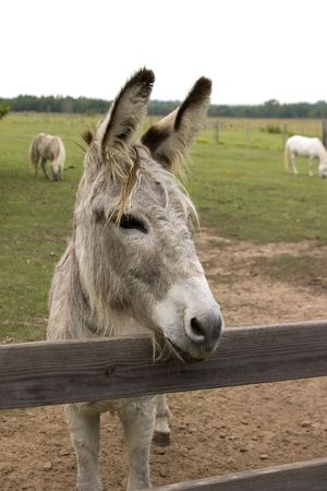 Small grey burro watching over pasture fence Stock Photo - 566013