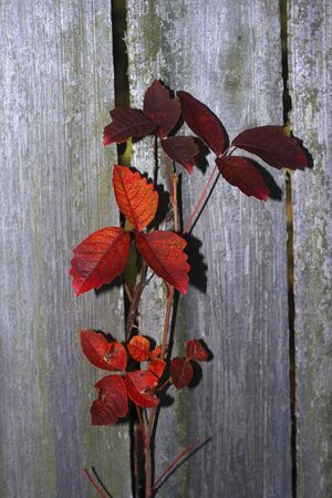 Fall color and old fence boards represent interesting textures of nature Stock Photo