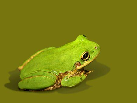 明るい緑小さなアマガエル関連の色の上の分離 写真素材