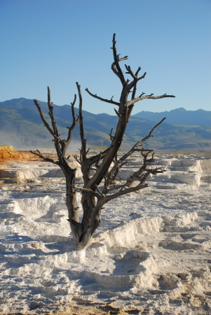 Dead Tree At Mammoth Hot Springs In Yellowstone National Park