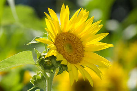 Perfect Sunflower on Summer Day