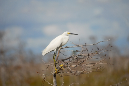 Snowy Egret In Everglades National Park