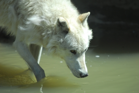 Gray Wolf Drinks From Pond Yellowstone National Park
