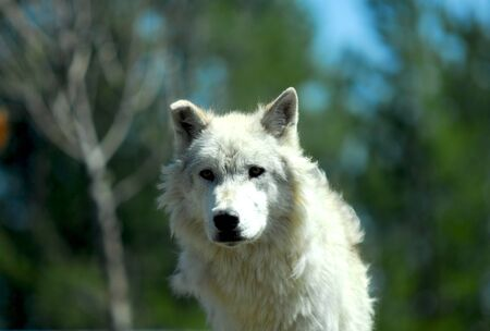gray wolf: Gray Wolf Watches for Danger at Yellowstone National Park