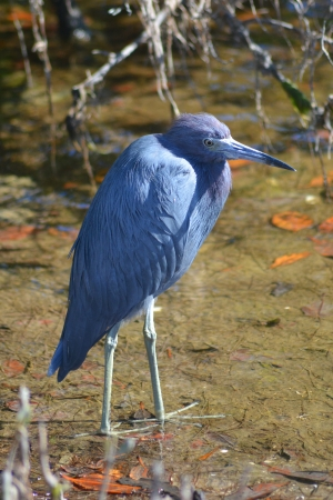 long neck: The little blue heron (Egretta caerulea).  It has slate blue feathers and stands about 24 inches tall.  Photo taken at JN Ding Darling National Wildlife Refuge at Sanibel Island, Florida. Stock Photo