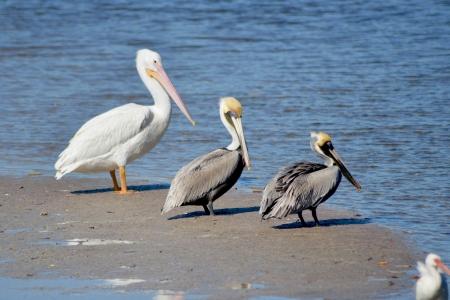 sandbar: Brown Pelicans, Pelecanus occidentalis, and White Pelican, Pelicanus erythrorhynchos, rest on a sandbar at Sanibel Island, Florida. Stock Photo