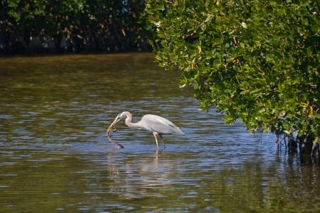 estuary: Great Blue Heron, Ardea herodias, Catches Mangrove Salt Marsh Snake, Nerodia clarkii compressicauda, on Sanibel Island, Florida. Stock Photo