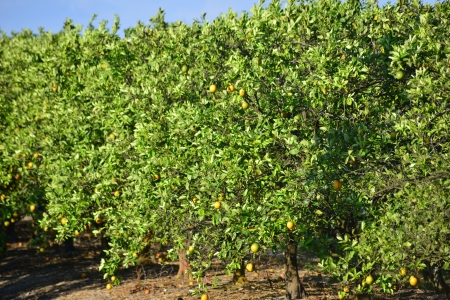 Loaded Orange Trees In Grove In South Florida