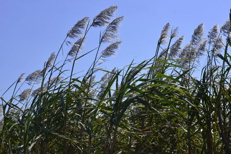 Sugar Cane Blooms In Southern Florida photo