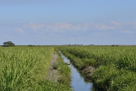 Young Sugarcane Grows Along Irrigation Canal In Southern Florida