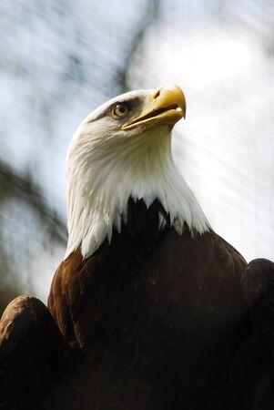 Majestic Portrait of A Bald Eagle (Haliaeetus Leucocephalus) Stock Photo - 17812016