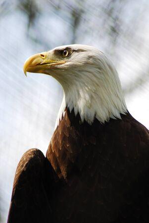 haliaeetus leucocephalus: Majestic Portrait of A Bald Eagle (Haliaeetus Leucocephalus) Stock Photo
