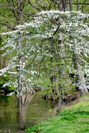 dogwood tree: Dogwood Tree Blooms In Spring At Reelfoot Lake State Park In Tennessee. Stock Photo