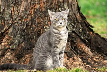 sullenly: Aggravated tabby male tomcat sits sullenly under a tree. Stock Photo