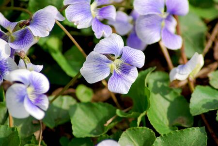 uncultivated: Close-up view of wild violets blooming in the spriing.