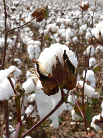 Cotton ripens in the fall in the southern United States. Stock Photo