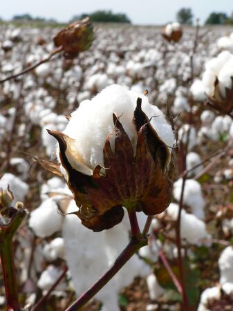 cotton crop: Cotton ripens in the fall in the southern United States. Stock Photo