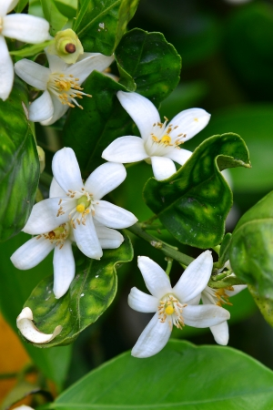 Orange blossoms grace a valencia tree in early spring  Stock Photo