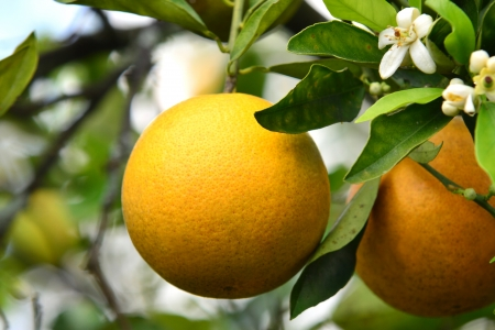 A fresh ripe Valencia orange hangs on the tree in Florida with blossoms in background.