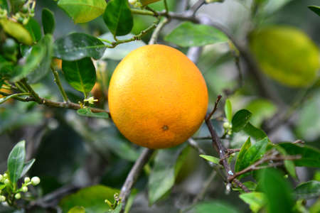 A Valencia orange hangs on the tree in Florida with blossoms in background.
