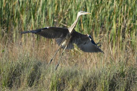 Great Blue Heron taking off into flight in Everglades National Park  photo