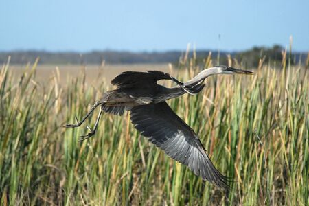 great blue heron: Great Blue Heron taking off into flight in Everglades National Park