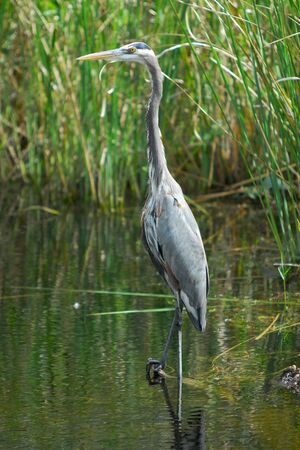 gray herons: Great blue herons are common in Everglades National Paark