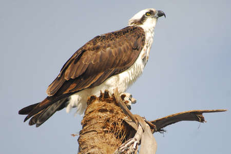 osprey bird: A watchful osprey is perched on a palm tree in Everglades National Park  Stock Photo