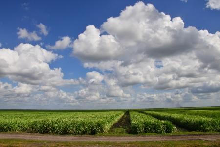 Suikerrietvelden