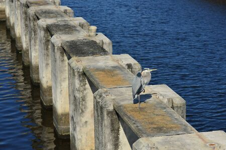 piling: A great blue heron stands on one foot on a concrete piling in southern Florida.