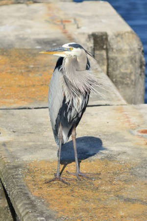 A great blue heron stands on a concrete piling in southern Florida. photo