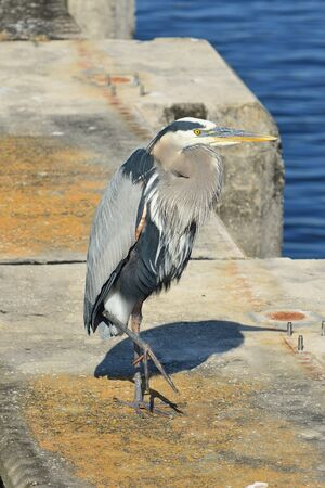piling: A great blue heron stands on a concrete piling in southern Florida.
