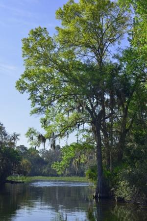 national forest: A Moss espa�oles cubierto de cipreses en Salt Springs Run en Ocala National Forest