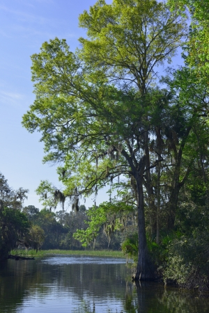 salt marsh: A Spanish Moss draped cypress at Salt Springs Run in Ocala National Forest  Stock Photo
